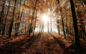 Picture autumn, forest, the sun, rays, light, trees, branches, nature, trunks, glade, foliage, shadows, Sunny, falling …
