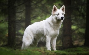 Picture forest, trees, branches, dog, puppy, white, is, posing, Swiss shepherd dog