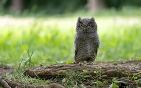 Picture greens, grass, nature, owl, bird, bokeh