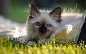 Picture cat, summer, grass, cat, look, light, nature, kitty, portrait, lies, pillow, kitty, blue eyes, face, …