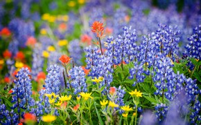 Picture summer, meadow, Lupin