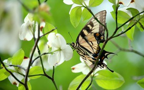 Picture greens, leaves, macro, light, flowers, branches, butterfly, spring, white, flowering, swallowtail, dogwood
