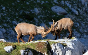 Picture light, mountains, pose, stones, rocks, fight, pair, horns, mountain, two, goats, goat, rivals, mountain goat, …