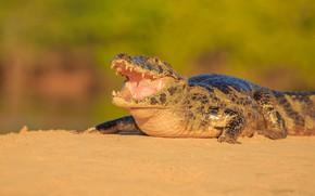 Picture shore, crocodile, mouth