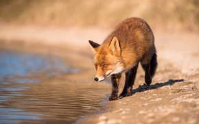 Picture look, face, water, light, nature, pose, river, background, shore, Fox, red, walk, pond, Fox