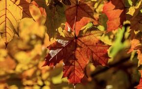 Picture autumn, leaves, light, nature, foliage, bright, leaf, maple, bokeh, autumn leaves, autumn leaf