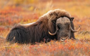 Picture nature, background, Big Male Musk Ox
