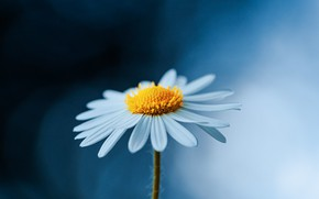 Picture flower, macro, nature, background, Daisy