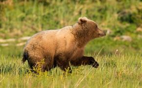Picture summer, grass, bear, running, bear, profile, bear, walk, brown
