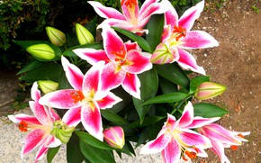 Picture flowers, Lily, pink lilies
