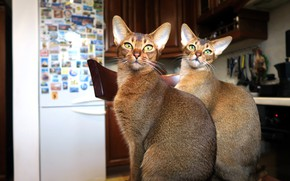 Picture eyes, cat, look, face, cats, house, cats, furniture, interior, refrigerator, chair, pair, kitchen, two, Kote, …