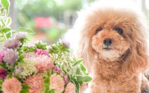 Picture flowers, bouquet, poodle