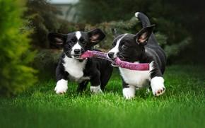 Picture dogs, grass, lawn, puppies, collar, walk, a couple, Ekaterina Kikot, Вельш-корги-кардиган