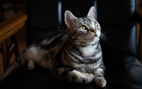 Picture cat, cat, look, face, light, the dark background, grey, chair, lies, striped, green eyes, British, …