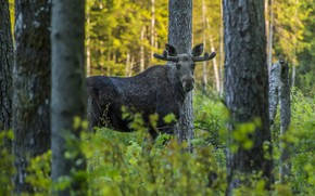 Picture greens, forest, look, trees, branches, thickets, the bushes, moose, young, Peeps