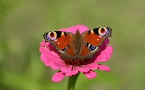 Picture flower, nature, butterfly, peacock