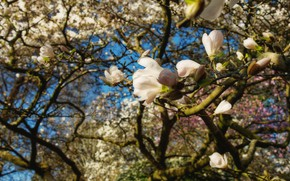 Picture flowers, branches, spring, white, flowering, Magnolia