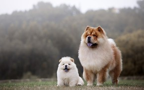 Picture dogs, two, puppy, mom, Chow