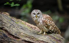 Picture bird, snag, owl