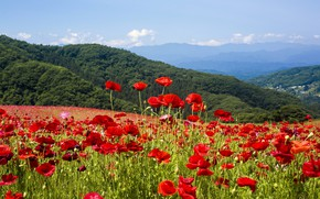 Picture field, nature, Maki, flowering