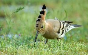 Picture bird, bird, hoopoe