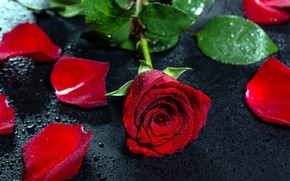 Picture drops, rose, red