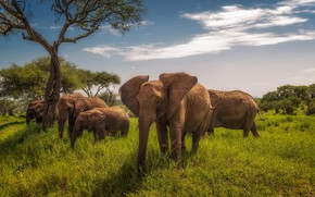 Picture Africa, elephants, Tanzania, Tarangire National Park