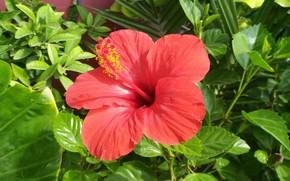 Picture Hibiscus, Chinese rose, Hibiscus