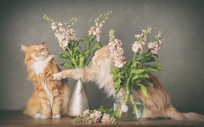 Picture flowers, fight, Boxing, Maine Coon, gillyflower