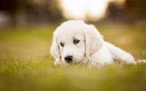Picture sadness, white, grass, look, glade, dog, puppy, lies, Labrador, sad, Retriever