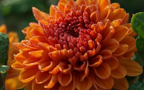 Picture flower, drops, macro, Rosa, orange, Dahlia