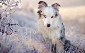 Picture winter, frost, grass, look, light, snow, nature, pose, portrait, dog, beauty, blue eyes, sitting, light …