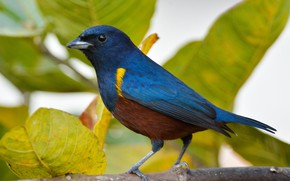 Picture leaves, nature, bird, Blue bird