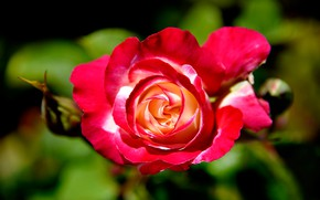 Picture close-up, rose, petals, buds, bokeh, bright