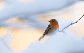 Picture winter, snow, background, bird, branch, bird, light background, bokeh, Robin, grey with orange breast
