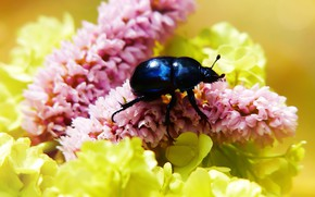 Picture summer, macro, flowers, blue, background, black, beetle, yellow, insect, pink, bug