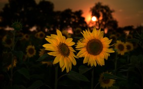 Picture summer, sunflowers, night