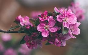 Picture branch, petals, Apple, flowering
