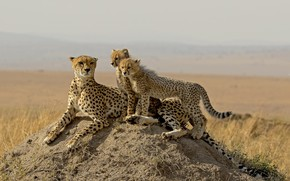 Picture nature, family, cheetahs