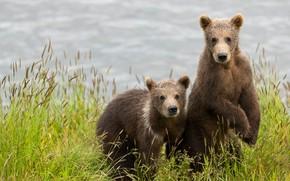 Wallpaper grass, look, pose, river, shore, paws, bears, pair, bear, kids, bears, a couple, Duo, bears, ...