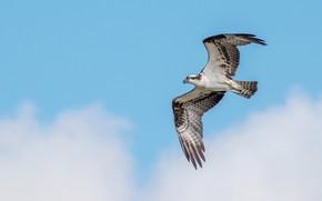 Picture the sky, bird, predatory