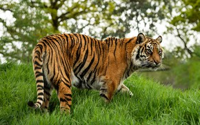 Picture grass, tiger, pose, walk
