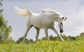 Picture field, white, summer, the sky, grass, look, face, flowers, nature, pose, background, horse, glade, horse, …