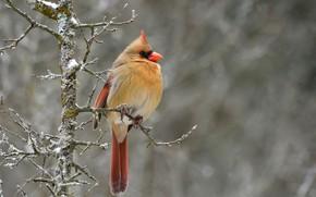 Picture nature, background, bird, branch, bokeh, cardinal, Northern Cardinal, северный кардинал