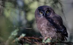 Picture look, background, owl, bird, needles, bokeh, owl, sychik