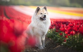 Picture flowers, each, dog, tulips