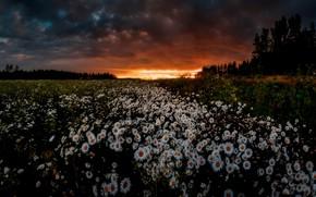 Wallpaper field, summer, sunset, night, chamomile