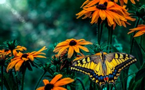 Picture macro, flowers, butterfly, garden, insect, orange, green background, yellow, bokeh, swallowtail, rudbeckia