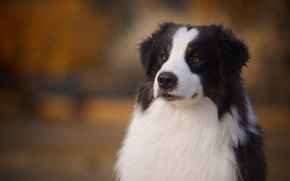 Picture face, background, portrait, dog, Australian shepherd, Aussie