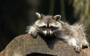 Picture look, pose, raccoon, lies, log, face